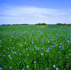flax fields
